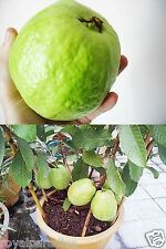 25 Seeds Thai Sweet Guava Rare Apple Guava Fresh Tropical Psidium Guajava Seeds