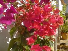 3x Bougainvillea  verschiedene Farben ca. 130-150 cm hoch in Blüte