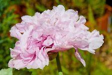 100 Seeds Filled Pink Poppy Blossom Like pfingsrosen Poppy Seeds