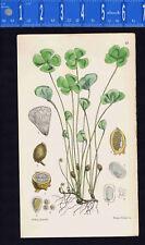 Nardoo-Longstalked Marsilea macropus-Walter FITCH 1862 Hand-Color Botanical