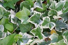 VARIEGATED English Ivy - 2.5 x 3.5 Inch Plugs - Hedra Helix
