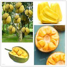 100pcs Fresh Jackfruit Seeds Fruit Trees Tropical Rare Giant Tree Garden Plant