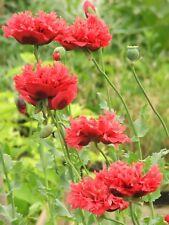 1x Papaver paeoniflorum RED ( Perennial Poppy, plant ) Flower Peony poppies