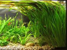 10 x STRAIGHT VALLIS Live Aquarium Plant Vallisneria spiralis tropical coldwater