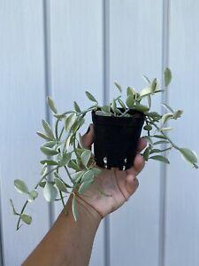 rare dischidia oiantha trailong succulent plant