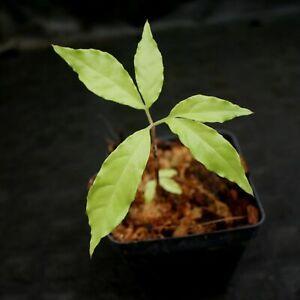 Amorphophallus decus-silvae, Voodoo Lily