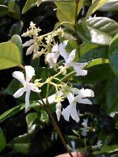 Jasmine Confederate Fragrant White Flower