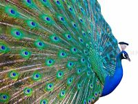 PHOTO DT PRETTY MALE PEACOCK FEATHERS PLUME ART POSTER PRINT BMP10820