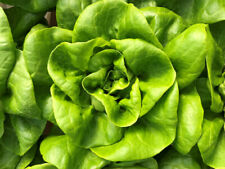 Bibb Butterhead Lettuce Seeds 1000+ Vegetable NON-GMO USA SELLER FREE SHIPPING