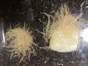 4 oz white worm starter culture ,LIVE fish food for Guppy, betta ,frog and more