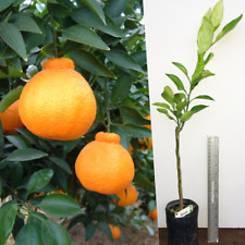 Dekopon orange live plant grafted tree sweet unique taste
