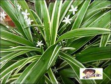 New 5 Bulbs Chlorophytum bichetil auspicious for people born on Tuesday.