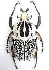 Goliathus orientalis (meleagris) Männchen ex Katanga/ Afrika Länge:87,43mm K8-11