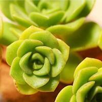 3 Live Succulent Cuttings Aeonium Lily Pad Succulent Plants