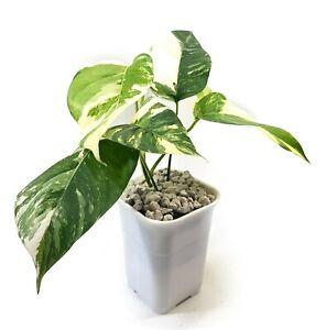 Epipermnum Pinnatum variegated