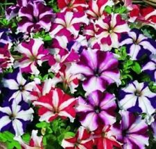 200+PETUNIA STAR MIX Seeds Hanging Baskets Beds Window Boxes Patio Containers