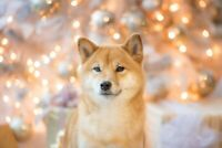 A1 | Shiba Inu Dog Poster Art Print 60 x 90cm 180gsm Puppy Japan Cute Gift #8751
