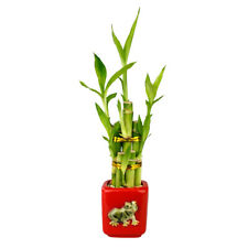 Nw Wholesaler - Lucky Bamboo Five Stalk Arrangement with Red Ceramic Frog Pot
