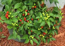 Pepper Seeds - WIRI WIRI - Guyana Pepper - Hot Chili! Hard to Find! - 10 Seeds