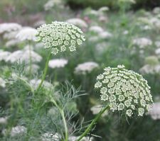 Queen Anne's Lace, 200 seeds (Ammi majus) Flower