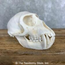 #21795 Wc | Vervet Monkey Full Skull Taxidermy Mount - Baboon Chimp