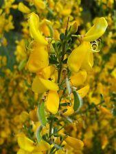 Scottish GINESTRA, giardino luminoso colore, offrire 100 semi