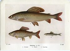 Beautiful Grayling Fish Book Print / Plate on Paper. 85+ years old