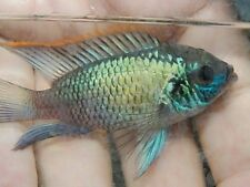 """ELECTRIC BLUE ACARA CICHLIDS 3"""" - 2 FISH PACK FREE SHIPPING"""
