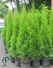 Thuja Smaragd 150-160 cm Containerpflanzen inkl. Versand 10 x Lebensbaum 388,-