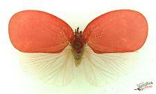 Rose flatid bug Phromnia rosea SET x1 A- Madagascar art insect collector weird
