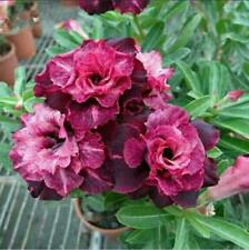 "5 pcs Desert Rose Flower Adenium obesum Seeds ""melody"" #A081"