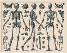 Vintage Skeleton Anatomy Correct Posture Illustration Real Canvas Art Print New