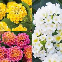 20PCs Lantana Camara Flowers Seeds Rare Bonsai Plants Beautiful gardens in Home