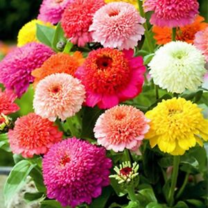 Zinnia- Scabiosa Flowered Mix- 100 Seeds- BOGO 50% off SALE
