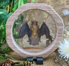 Z25A Taxidermy greater bamboo Bat Floating display Oddities Curiosities cllctble
