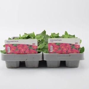 2 X Polyanthus Pink 6 pack (12 Plants)