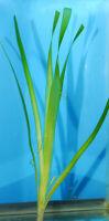 VALLISINERIA GIGANTEA 1 PLANT- Freshwater Aquatic Live Plants