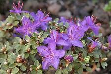 Rhododendron thymifolium 50 seeds