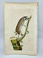 Slow-paced lemur - 1783 Rare Shaw & Nodder Hand Colored Copper Engraving