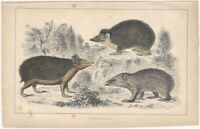 Hedgehog / Shrew - 19th Century English Small Mammal Print partly Hand Colored