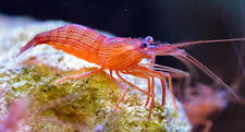 ''AQM'' Peppermint Shrimp, Live Coral, Invertebrates, Anemones, LPS, SPS, Marine