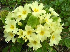 Fairy Garden x25 Primrose Vulgaris seeds Fairy Garden, Wild Primrose Flower Seed