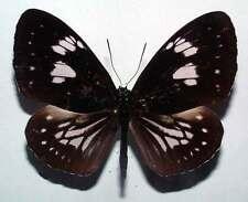 EUPLOEA HEWITSONI HEWITSONI - unmounted butterfly