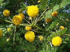 Sweet Wattle Needle Bush ACACIA MINUTA, scented shrub, rare, bonsai, patio plant