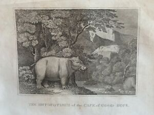 1813 View of Hippopotamus In South Africa Original Antique Print 208 Years Old