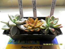 Succulents Sedeveria 3 Variety Offsets 1 each Starburst Silver Star & Pats Pink
