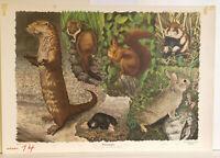 Wandbild Fischotter Hermelin Maulwurf Eichhörnchen Wildkaninchen Hamster 1960