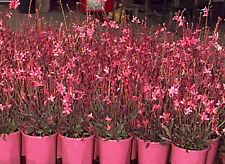 Gaura'Crimson Butterflies' deep pink flowers bronzed foliage perfect for pots