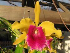 Lc. Luminosa 'Aurea' (dowiana x tenebrosa) cattleya orchid Large plant