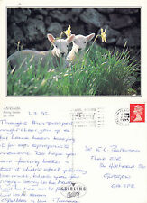 1995 SPRING LAMBS OVERSIZED COLOUR POSTCARD
